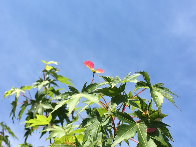 新緑の京都、雨上がりの青もみじ